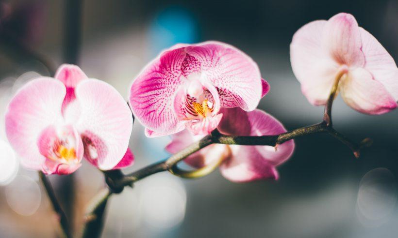 Kako zalijevati orhideje?