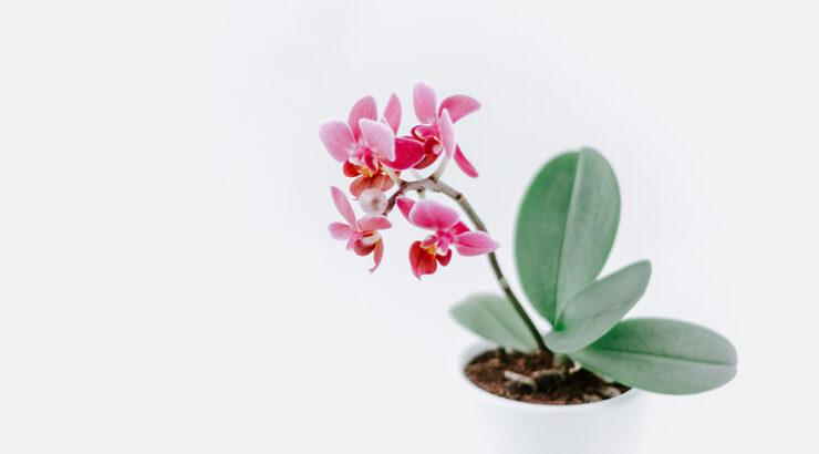 Kako uzgajati orhideje?