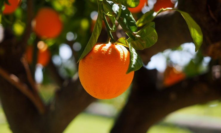 Drvo naranče