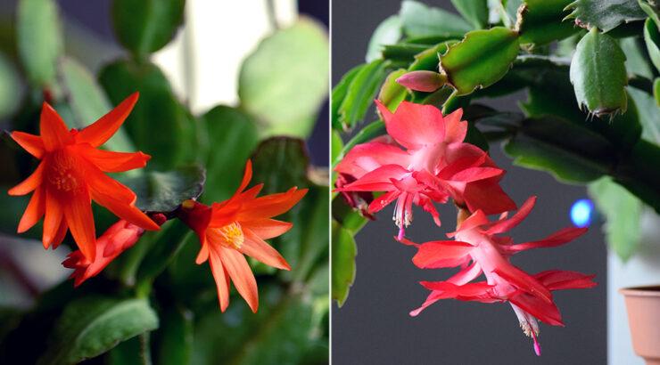 Razlika uskršnji i božićni kaktus